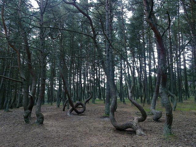 Танцующий лес в Литве