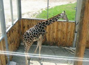 Жираф в Рижском зоопарке
