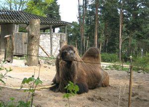 Верблюд в зоосаде Риги