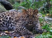 Фотография амурского леопарда в Таллинском зоопарке