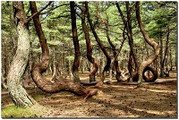 Кургская коса, танцующий лес