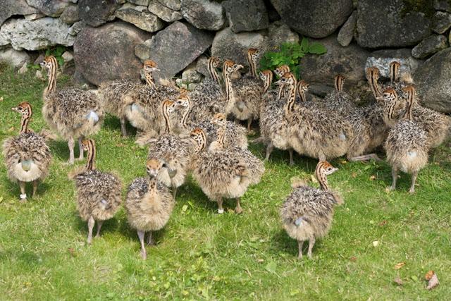 Остров Муху - страусиная ферма